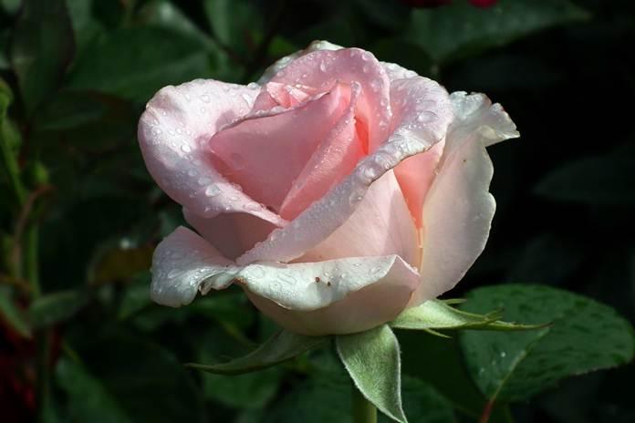 Menanam bunga mawar secara hidroponik