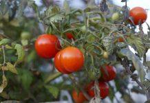 menanam tomat cherry secara hidroponik