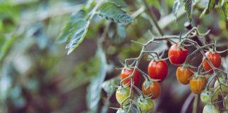 mengatasi penyakit tanaman tomat