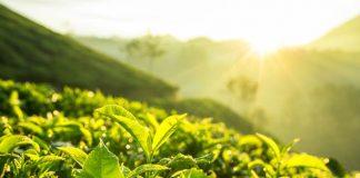Nanopartikel daun teh