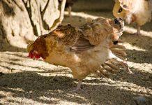pakan wajib untuk ayam