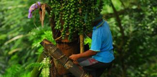 peluang usaha pohon aren