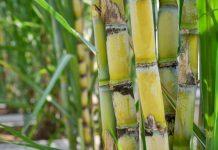 perbanyakan benih tebu
