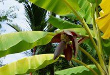 pupuk organik dari batang pisang