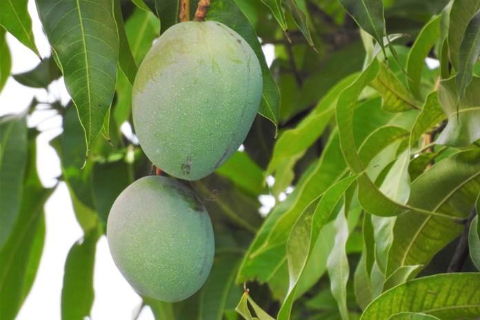 manfaat daun mangga
