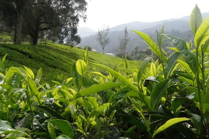 lahan teh di Jabar beralih fungsi