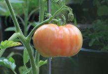 syarat budidaya tomat
