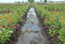 kembangkan tanaman refugia