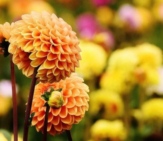 Umbi bunga dahlia