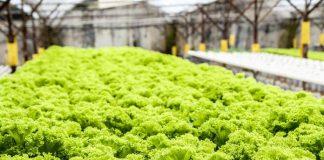 hama pada tanaman hidroponik