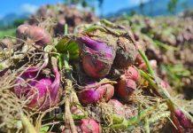 penyakit tanaman bawang merah