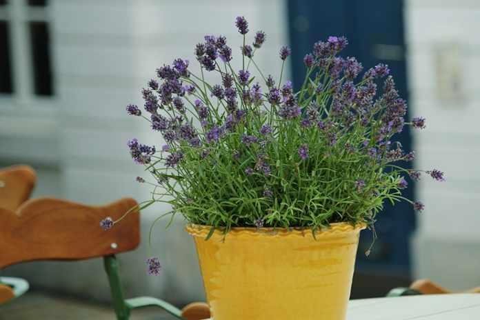Teknik menanam bunga lavender