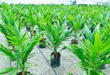 replanting kelapa sawit