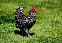 jenis ayam ras petelur