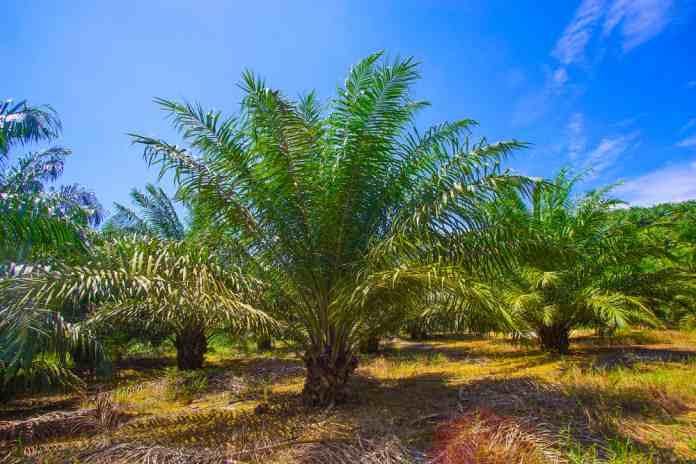 persiapan replanting kelapa sawit