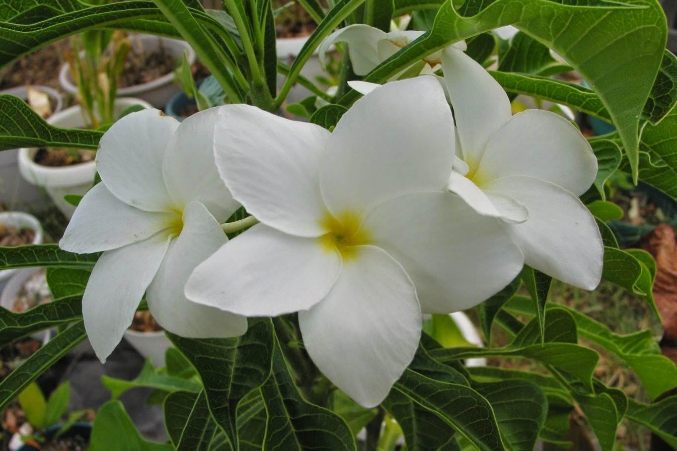 bunga kuburan