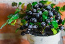 Cara budidaya blueberry
