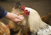 Cara menambah nafsu makan ayam