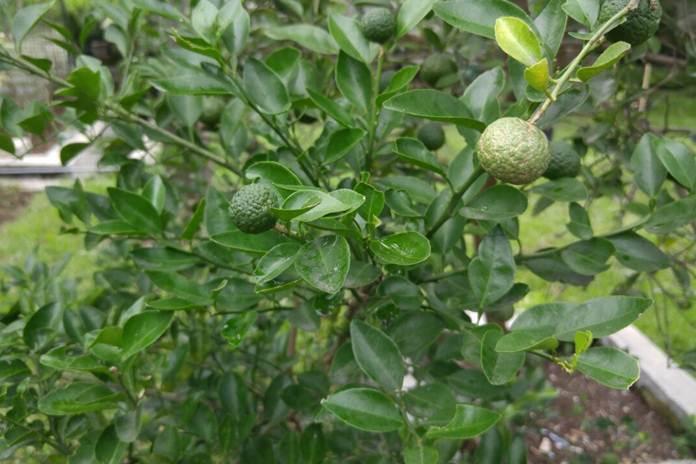 Jeruk sambal