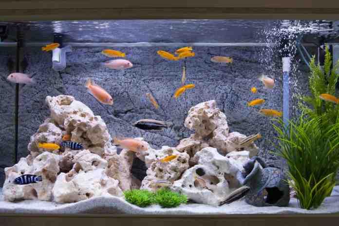 Cara menjernihkan air akuarium