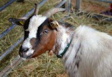 ternak kambing potong