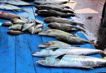 perdagangan ikan internasional
