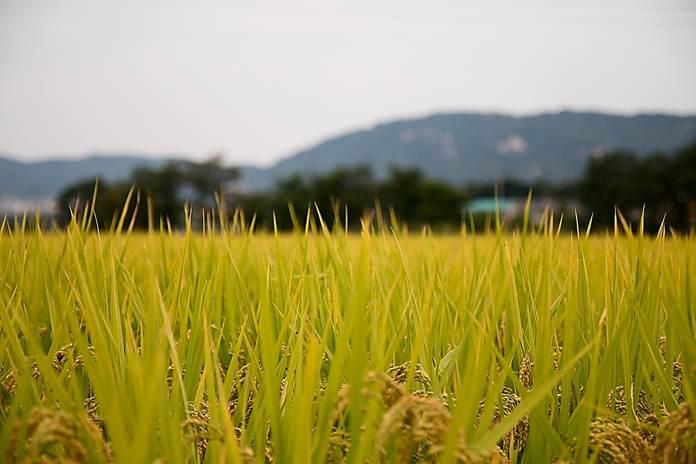 Kandungan gizi padi berkurang