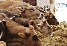penggemukan sapi potong