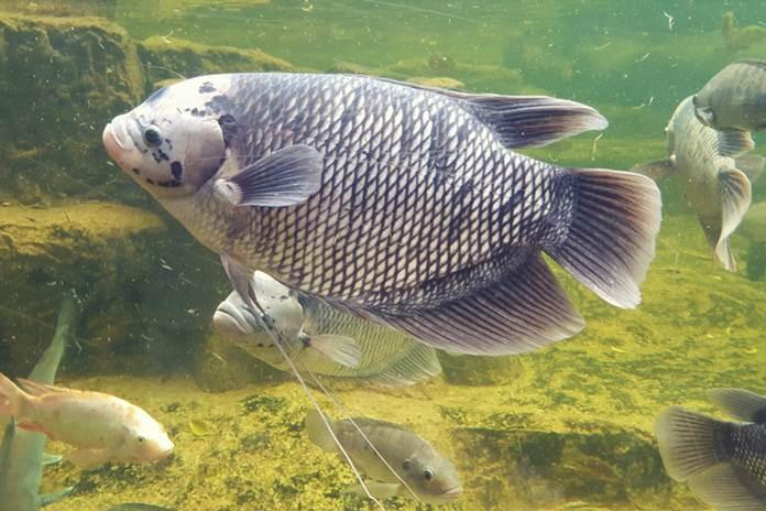 pakan alternatif ikan gurami