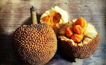 buah dari keluarga nangka