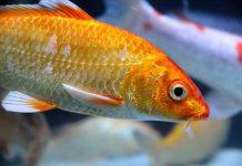 penyakit ikan mas