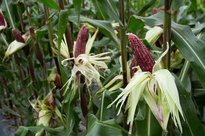 pengembangan jagung ungu