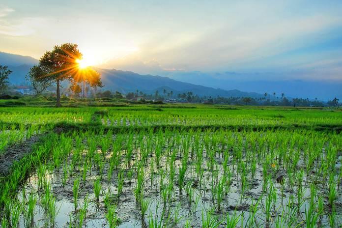 memperbanyak anakan padi