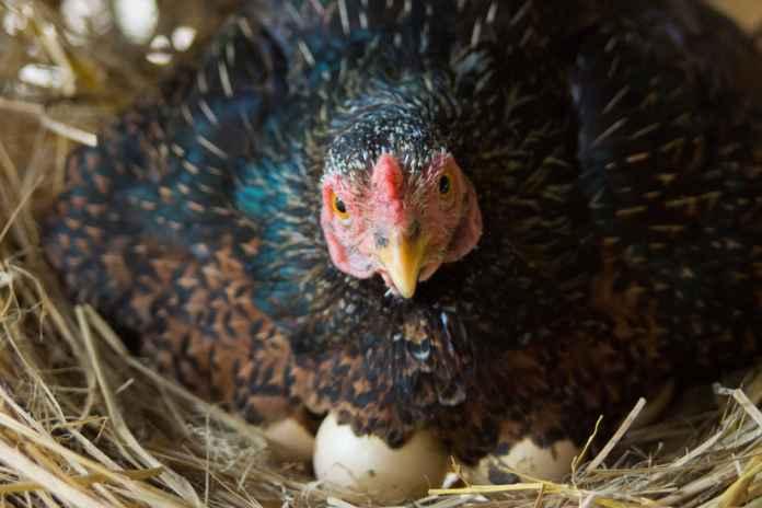 Tingkatkan Produksi Telur Ayam Kampung, Begini Caranya