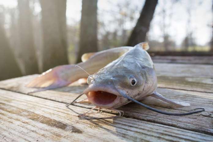 manfaat ikan lele