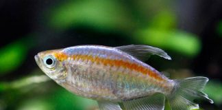 ikan yang paling cocok untuk aquascape