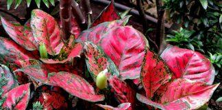 tanaman hias yang paling diminati
