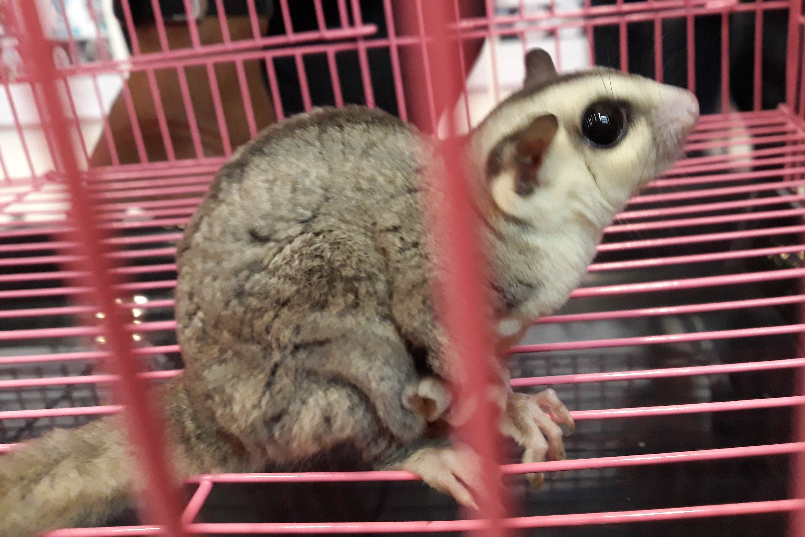 komunitas Exotic Sugar Glider Indonesia