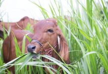 cara pemberian pakan sapi