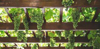pemeliharaan tanaman anggur