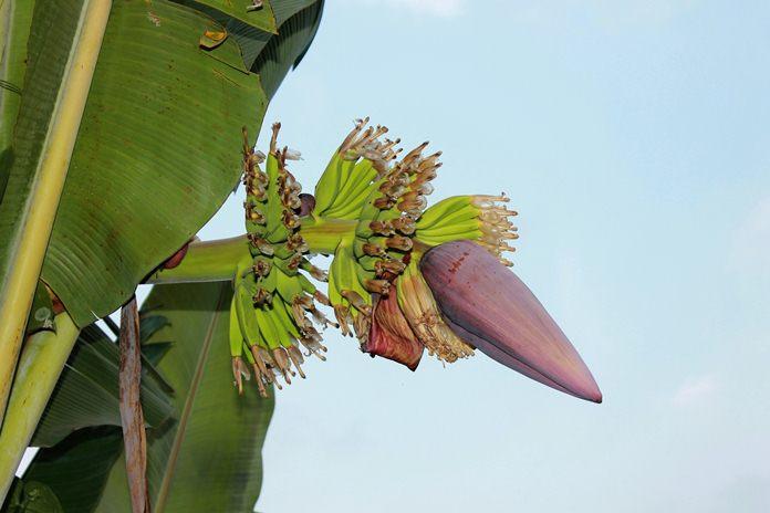 manfaat akar pisang