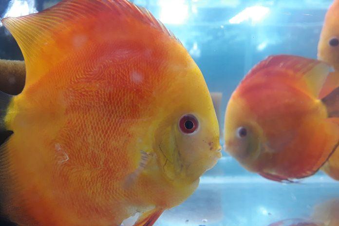 Ikan Hias Discus