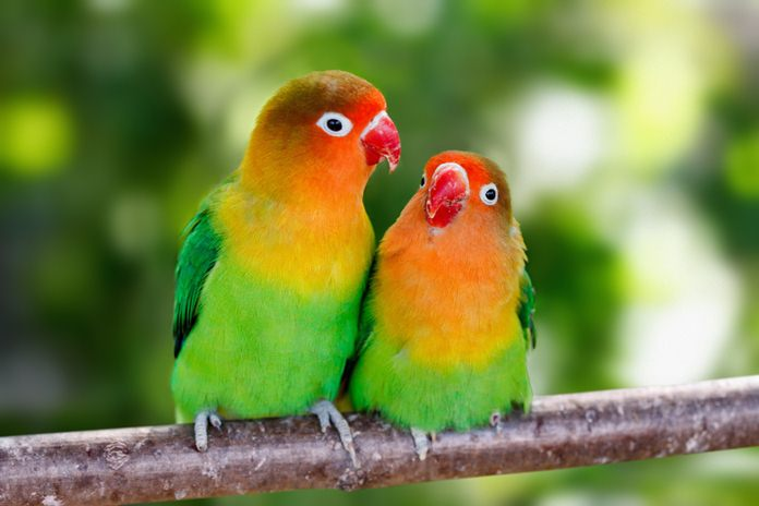 lovebird cepat bertelur