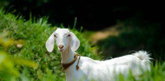 kambing juga miliki kecerdasan