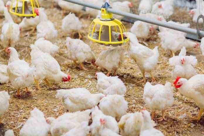 Biaya Pakan Ayam