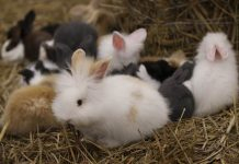 Indonesian Rabbit Society