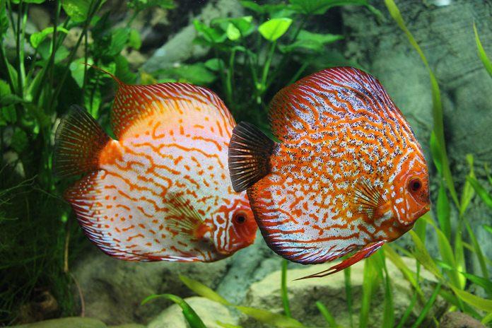 perbanyakan ikan diskus