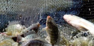Panen Ikan di Kolam Terpal