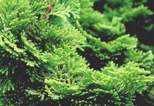 Pohon cemara hinoki dan pohon cedar