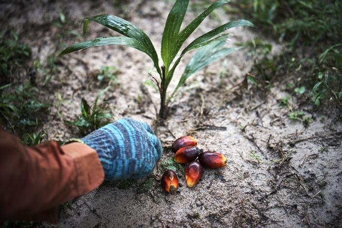 ribuan benih kelapa